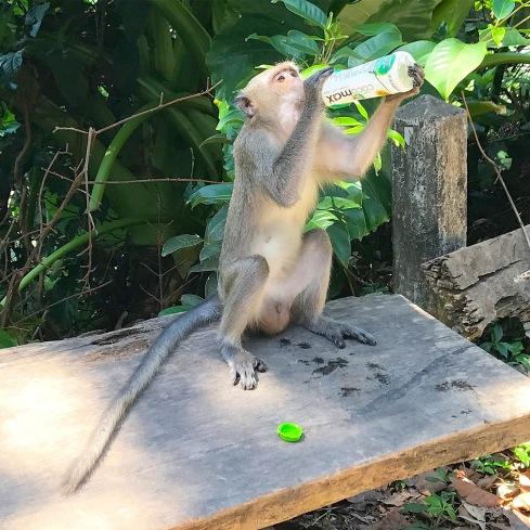 kohlanta-monkey