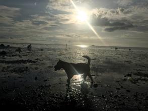 koh_phangan-sunset-dog