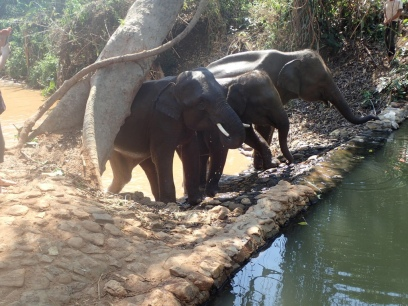chiang_mai-drinking-elephants
