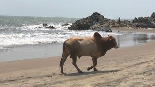 Indien-Goa-Kuh