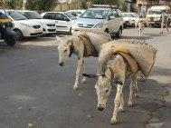Indien-Udaipur-Packesel