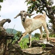 Nepal-Tag10-Ziege