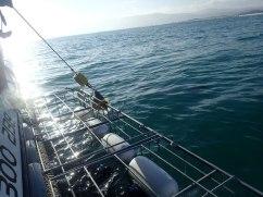 Gaansbay-shark-diving